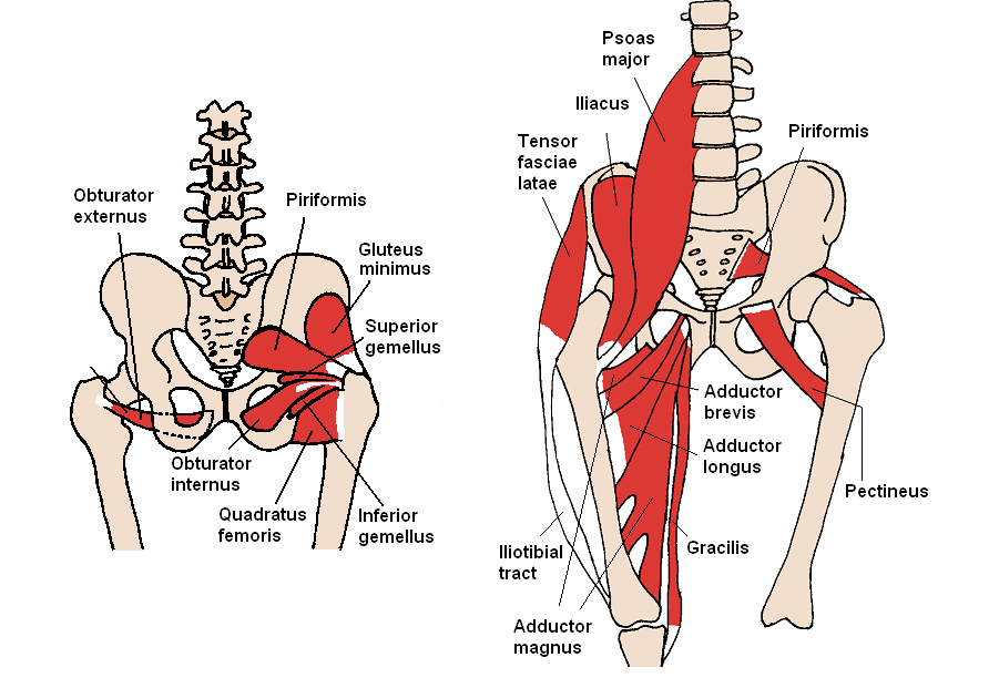 Posterior_Hip_Muscles.PNG