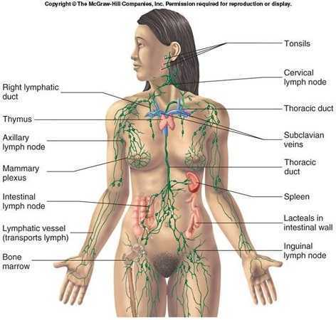lymphatic-system-diagram.jpg