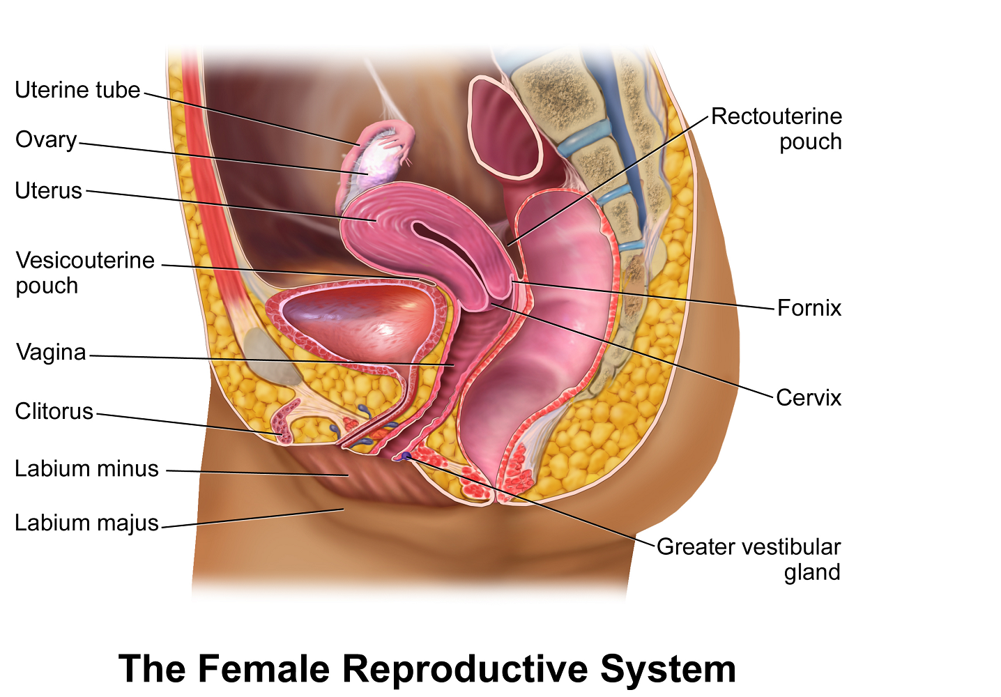 FemaleReproductive.png